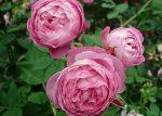 Виды розы фото – разновидности, описание старых и современных сортов садовых роз, их названия и фото