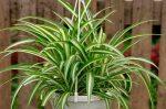 Хлорофитум цветок фото – описание, полезные свойства, популярные виды и сорта, похожие растения, условия и правила выращивания, отзывы цветоводов