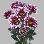 Хризантема кустовая фото и название