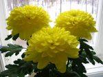 Хризантема листья фото – Крупноцветковые хризантемы – уход за цветами, выращивание и размножение, фото
