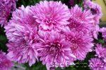 Хризантемы цветы многолетние – как ухаживать, сорта, посадка, размножение, выращивание из семян, болезни и вредители, фото, видео