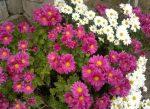Хризантемы на даче фото – классификация, характеристика популярных сортов, особенности посадки и ухода, способы размножения, применение в дизайне участка