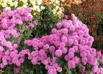 Хризантемы осенние фото – Как посадить садовую хризантему осенью правильно? Выбор саженца хризантем для осенней посадки (фото)