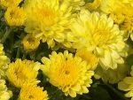 Хризантемы в дизайне сада – классификация, характеристика популярных сортов, особенности посадки и ухода, способы размножения, применение в дизайне участка