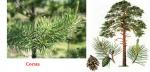 Хвойное дерево с красными цветами и шишками фото и названия – фото, описание форм, названия декоративных разновидностей, особенности выращивания сосны