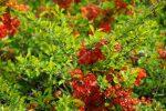 Японская айва низкая – Айва японская – украшение декоративного сада: агротехника, посадка и правильный уход за культурой