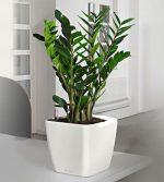 Замиокулькас семейство – Растение замиокулькас. Уход в домашних условиях, выращивание, размножение и пересадка замиокулькаса