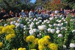 Зеленые хризантемы сорта и их описание – Бал хризантем, часть II. Крупноцветковые сорта: igorsamusenko
