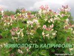 Жимолость фото цветов – Жимолость каприфоль: посадка, размножение, уход (обрезка). Сорта каприфоли. Фото лианы