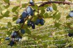 Жимолость съедобная сорта фото – Жимолость съедобная — посадка и уход, фото лучших сортов, полезные свойства ягод